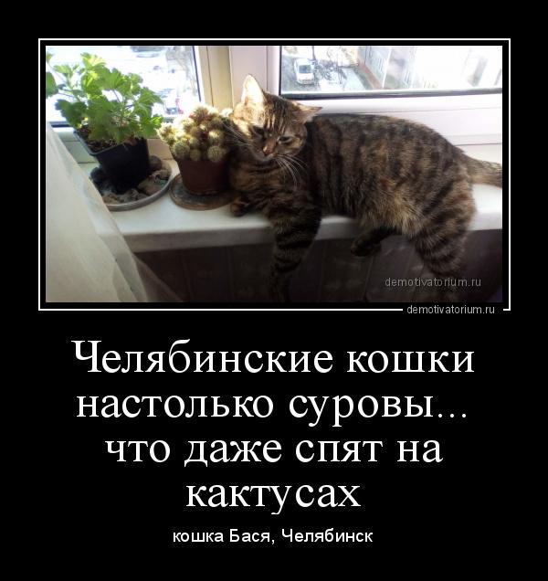демотиватор Челябинские кошки настолько суровы... что даже спят на кактусах кошка Бася, Челябинск - 2019-11-03